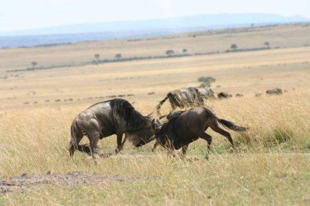 Zdjęcia: Masai Mara, Masai Mara, Walka o władzę, KENIA