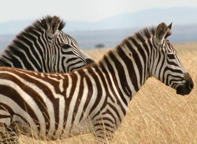 Zdjęcia: Masai Mara, Masai Mara, Mąż i żona, KENIA