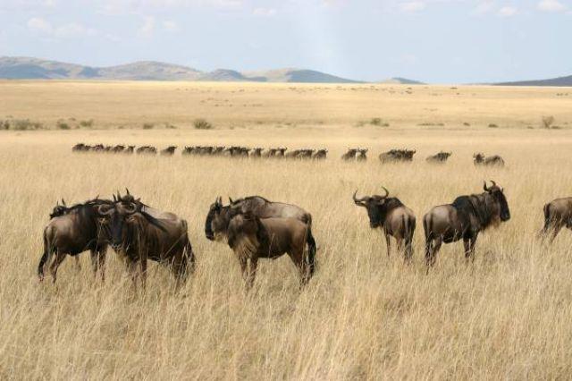Zdjęcia: Masai Mara, Masai Mara, Armia gnu, KENIA