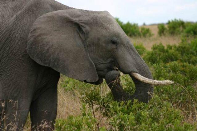 Zdj�cia: Masai Mara, Masai Mara, Po�ywna zieleninka, KENIA
