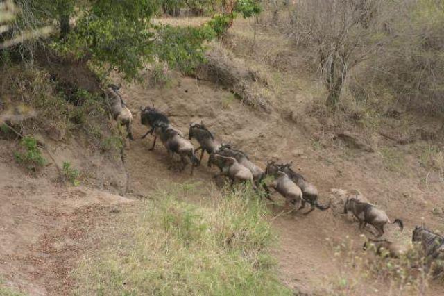 Zdjęcia: Masai Mara, Masai Mara, Przeprawa gnu przez rzekę, KENIA