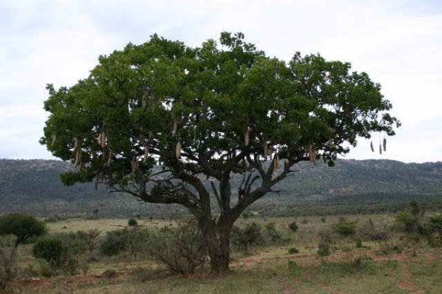 Zdjęcia: Masai Mara, Masai Mara, Drzewo kiełbasiane, KENIA