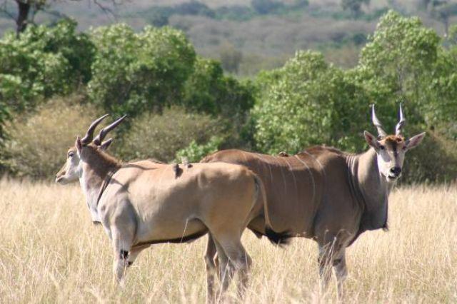 Zdjęcia: Masai Mara, Masai Mara, Grande, KENIA