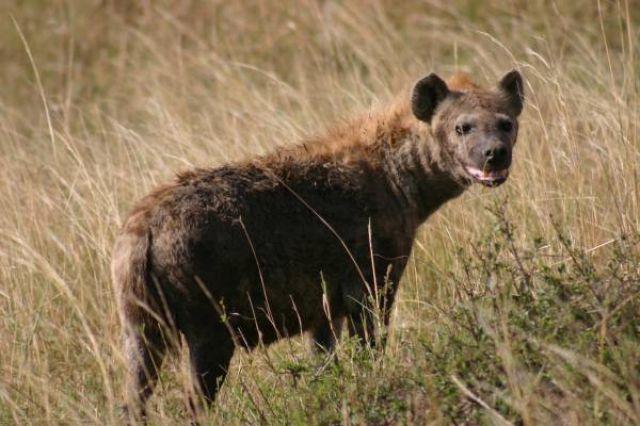 Zdj�cia: Masai Mara, Masai Mara, Milutki piesek, KENIA