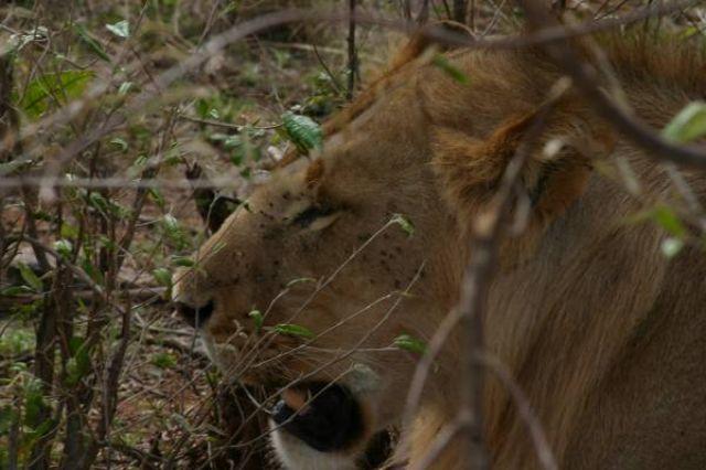 Zdjęcia: Masai Mara, Masai Mara, Kryjówka, KENIA