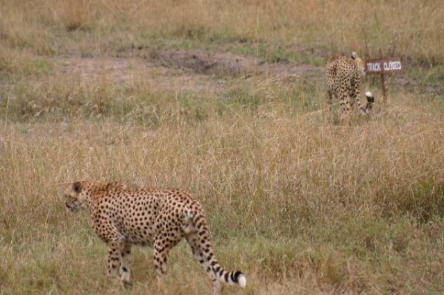 Zdjęcia: Masai Mara, Masai Mara, Gepardy, KENIA