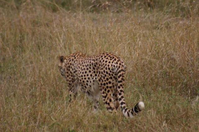 Zdjęcia: Masai Mara, Masai Mara, Już po łowach, KENIA