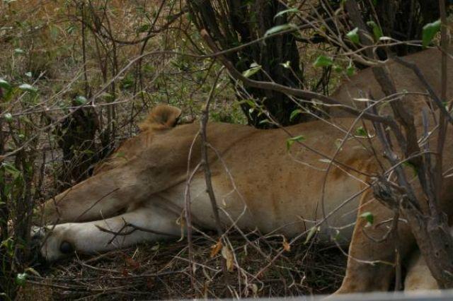 Zdjęcia: Masai Mara, Masai Mara, śpiący kotek, KENIA