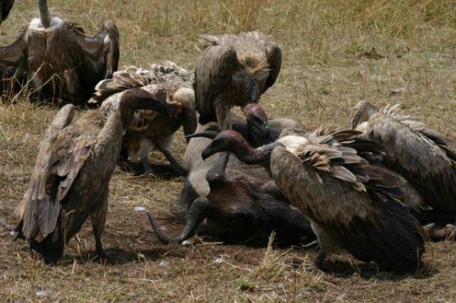 Zdjęcia: Masai Mara, Masai Mara, Wyżerka, KENIA