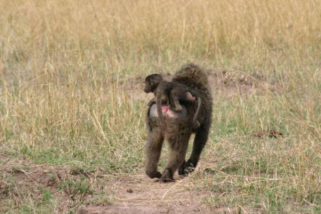 Zdj�cia: Masai Mara, Masai Mara, Do domu na obiad, KENIA
