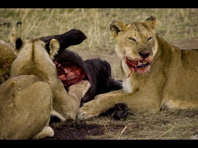 Zdjęcia: Masai Mara, Krwawy obiad, KENIA