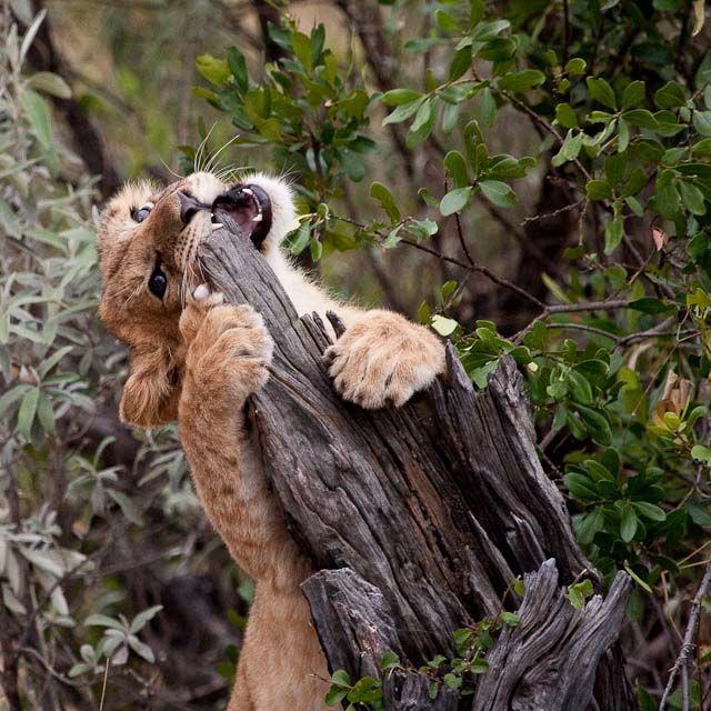 Zdjęcia: Masai Mara, Masai Mara, Ostrzenie ząbków ;), KENIA