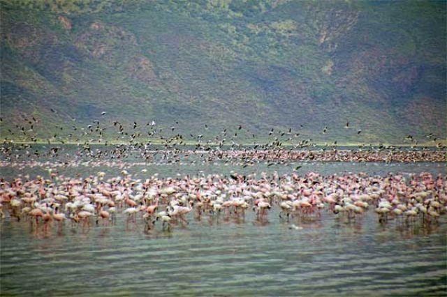 Zdjęcia: Jezioro Bogoria, Flamingi nad jez. Bogoria, KENIA
