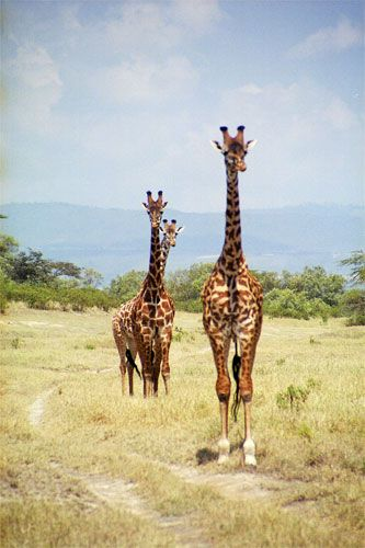 Zdjęcia: Green Lake Crater, Żyrafy, KENIA