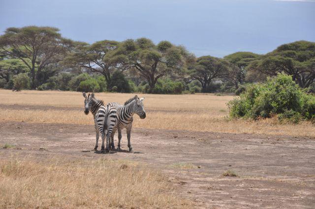 Zdjęcia: Park Narodowy Amboseli, Amboseli, Nie wszystkie przodem, KENIA