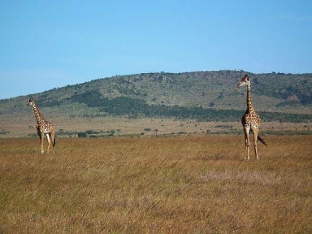 Zdjęcia: MASAI MARA, MASAI MARA, KENIA WILDLIFE, KENIA