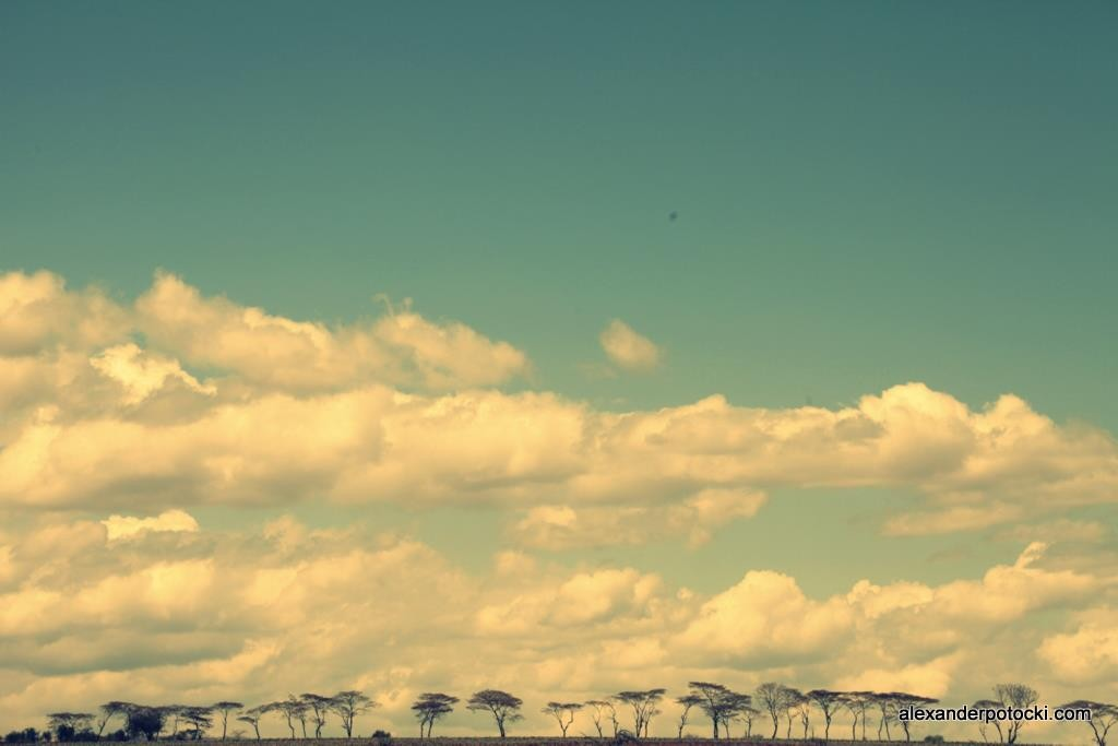 Zdjęcia: n/a, Amboselli., Amboselli. Akacja., KENIA