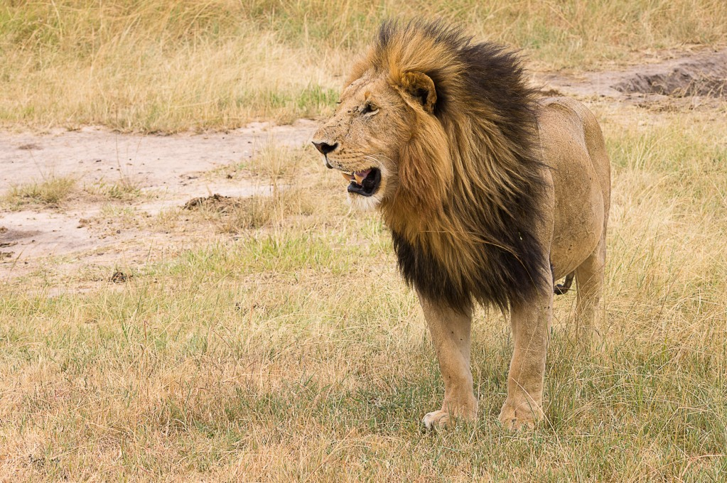 Zdjęcia: NP Masai Mara, NP Masai Mara, Król, KENIA