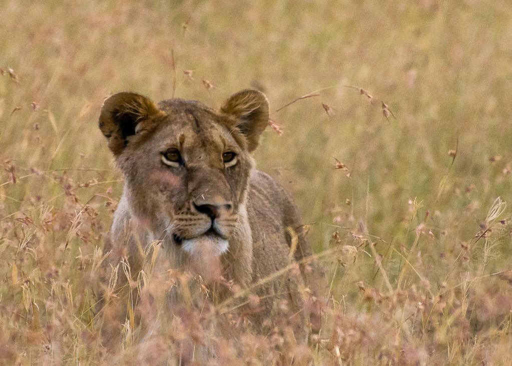 Zdjęcia: NP Masai Mara, NP Masai Mara, Lwiczka, KENIA