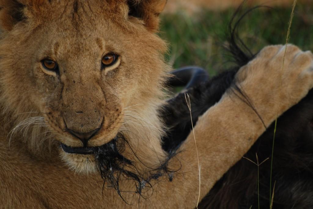 """Zdjęcia: masai mara, masai mara, śniadanie albo """"kłaczek"""", KENIA"""