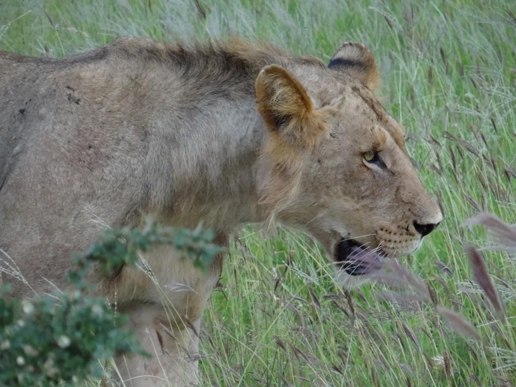 Zdjęcia: Amboseli NP, młody król, KENIA