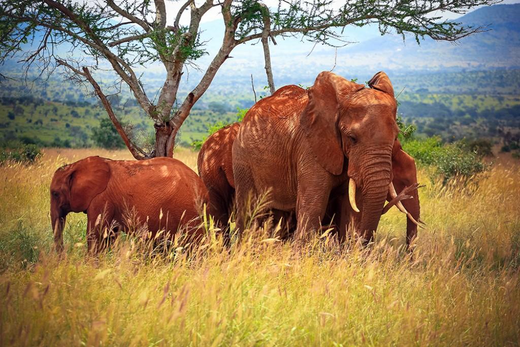 Zdjęcia: Tsavo West, Tsavo West, Family ..., KENIA