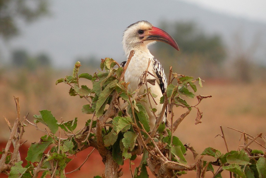 Zdjęcia: Park Narodowy Tsavo, płd Kenia, Dzioborożec, KENIA