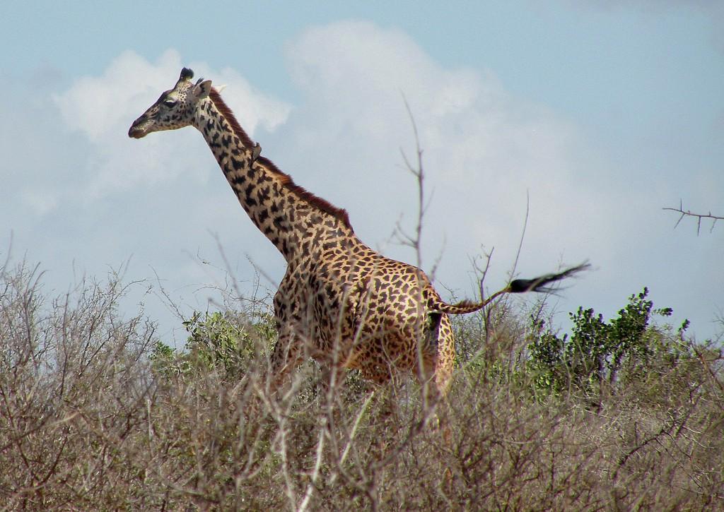 Zdjęcia: Tsavo West, płd Kenia, Uciekająca żyrafa, KENIA