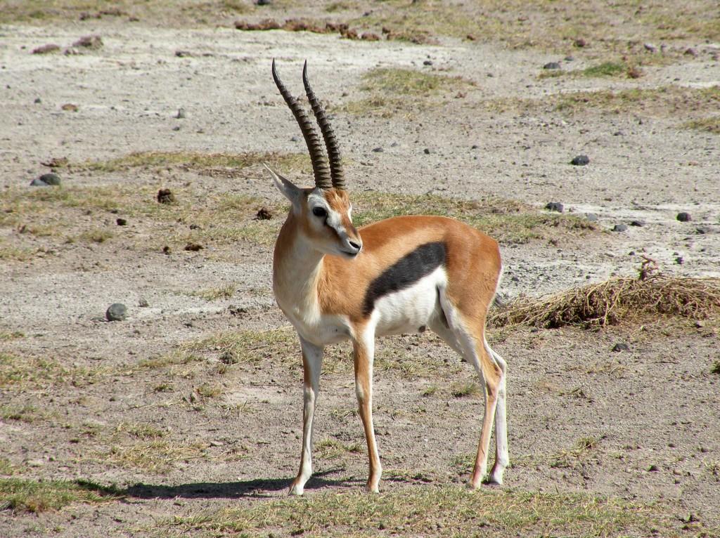 Zdjęcia: Amboseli, płd Kenia, Gazela, KENIA