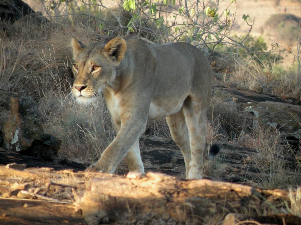 Zdjęcia: Tsavo West, Płd Kenia, Lwica, KENIA