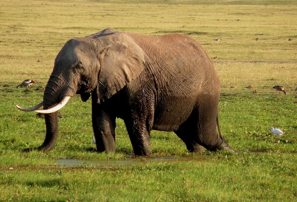 Zdjęcia: Amboseli, płd Kenia, Brodzący słoń, KENIA