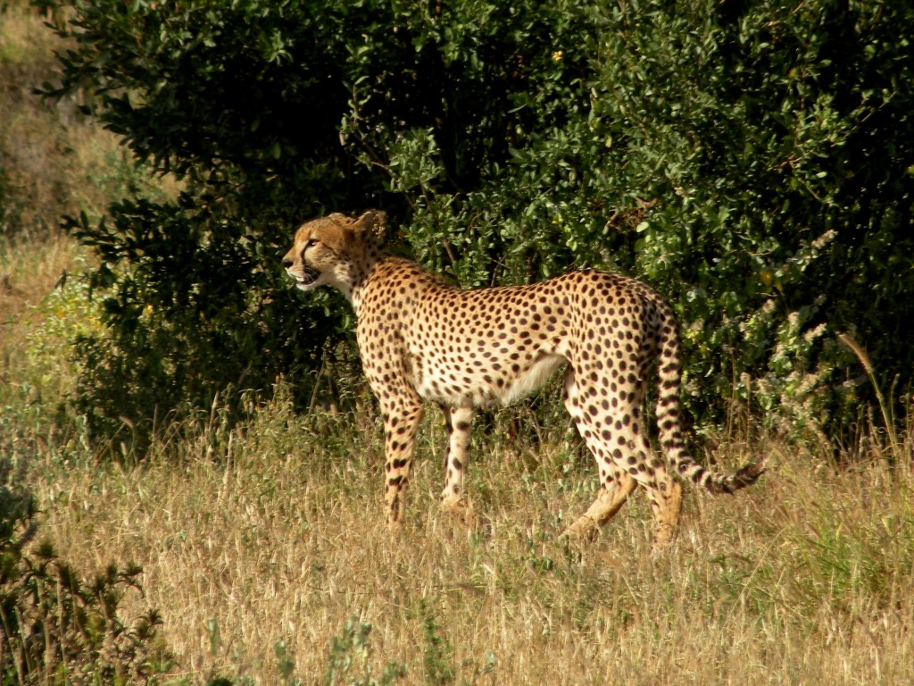 Zdjęcia: Tsavo West, płd Kenia, Gepard, KENIA