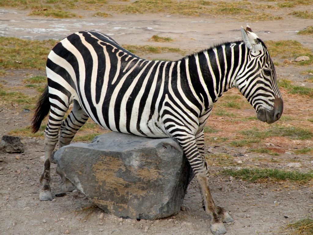 Zdjęcia: Amboseli, płd Kenia, Kolizja?, KENIA