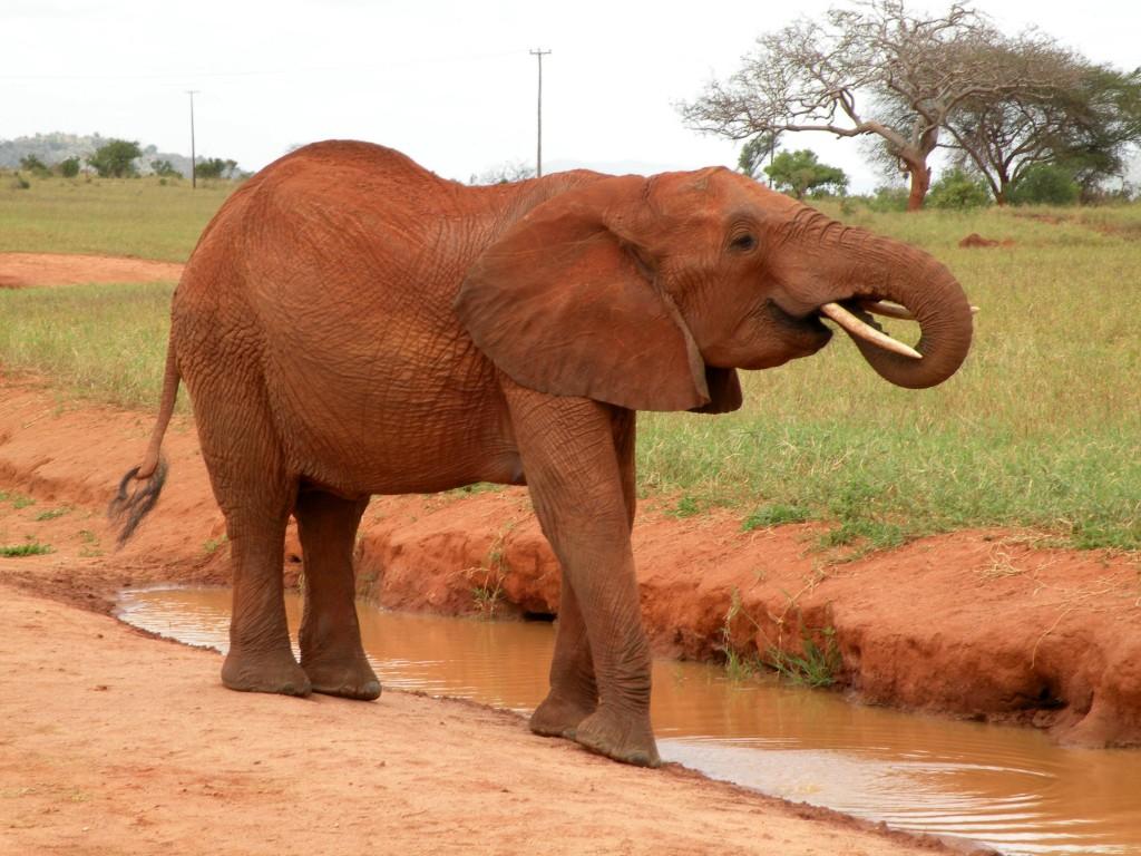 Zdjęcia: Tsavo East, płd Kenia, Słonik, KENIA