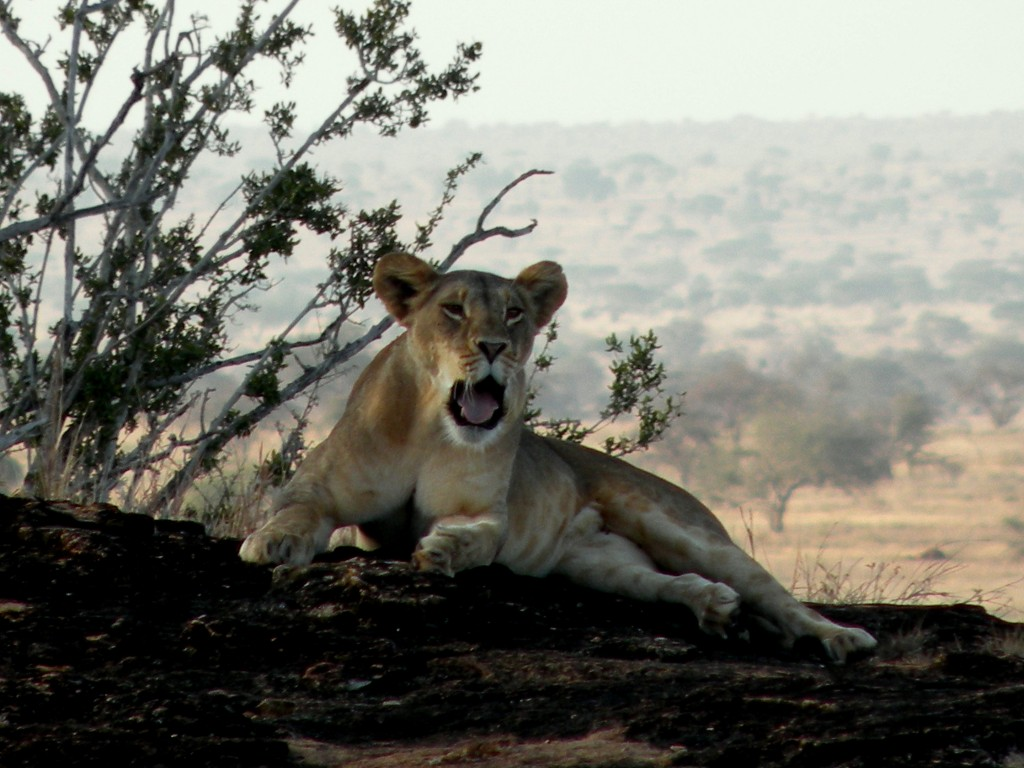 Zdjęcia: Tsavo West, płd Kenia, Znudzona lwica, KENIA