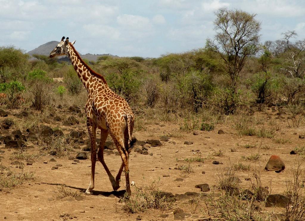 Zdjęcia: Tsavo West, płd Kenia, Żyrafa, KENIA