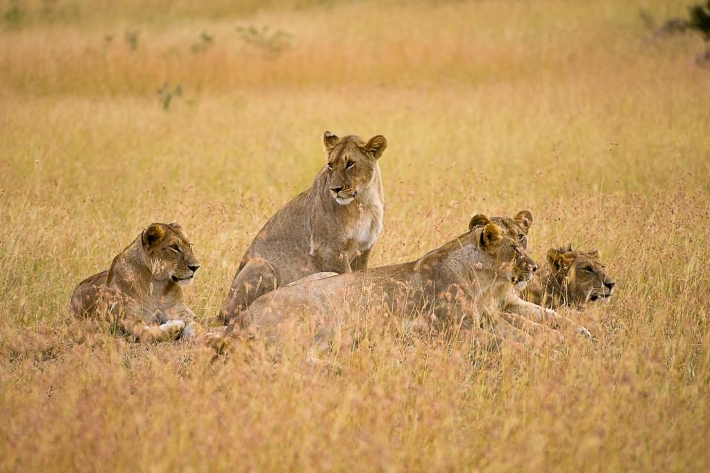 Zdjęcia: NP Masai Mara, NP Masai Mara, Dzień kota, KENIA
