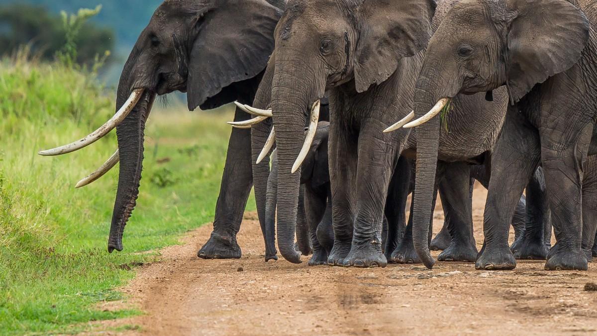 Zdjęcia: Mara Triangle, Masai Mara, Zebranie na drodze, KENIA