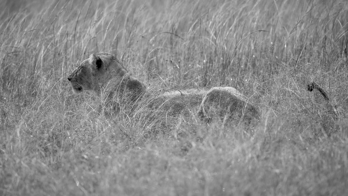 Zdjęcia: Mara Triangle, Masai Mara, Lwica hipnotyzuje Topi, KENIA
