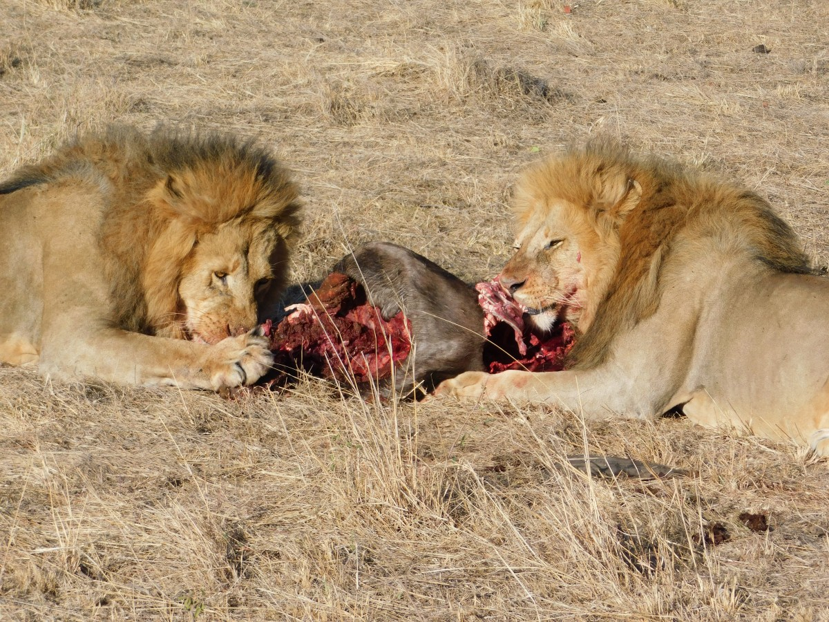 Zdjęcia: Park Norodowy, Masai Mara , Śniadanie w Masai Mara, KENIA