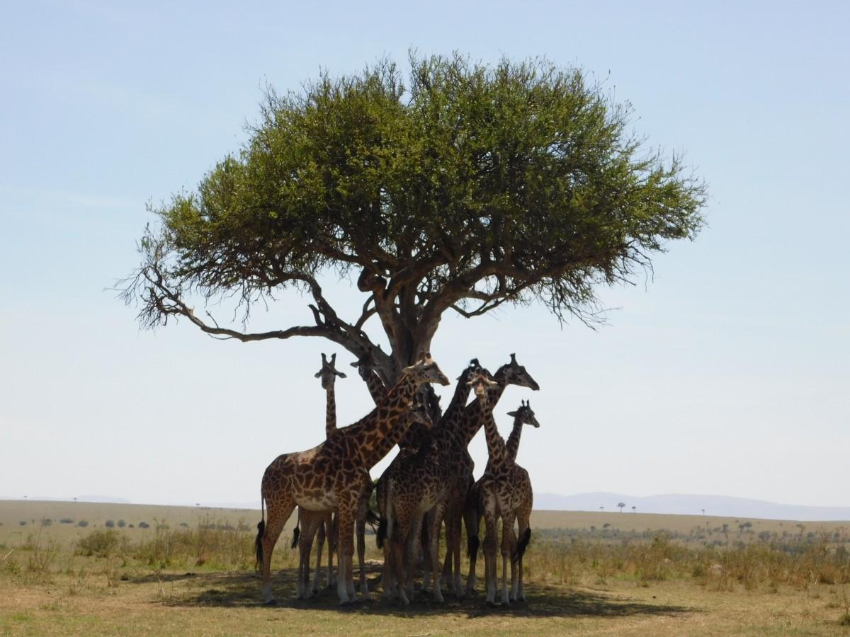 Zdjęcia: Park Norodowy, Masai Mara , W cieniu akacji , KENIA