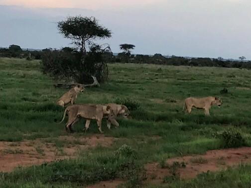Zdjęcia: Tsavo East, Mombasa/Diani/Malindi, Lwia rodzina na dzisiejszym safari w Tsavo East, KENIA