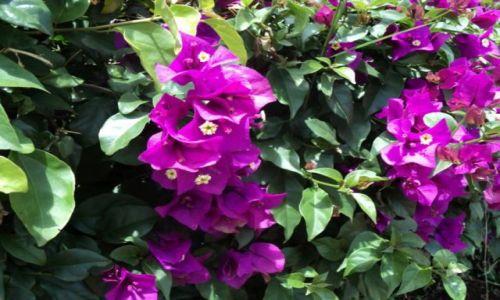 Zdjęcie KENIA / Nairobi / Uhuru PArk / Kwiaty