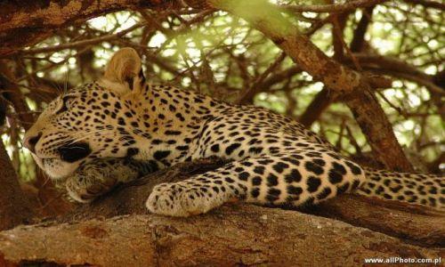 Zdjęcie KENIA / Tsavo East / Tsavo East / Gepard w parku narodowym Tsavo East