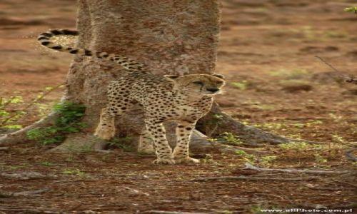 Zdjecie KENIA / Tsavo East / Tsavo East / Gepard w parku narodowym Tsavo East