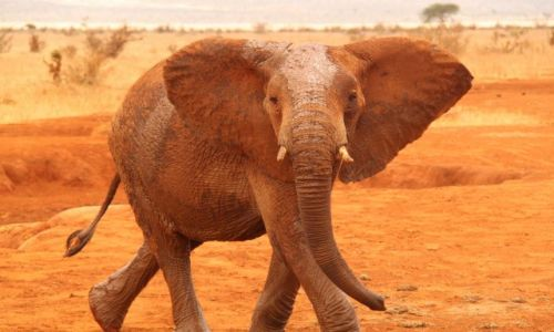 Zdjecie KENIA / Kenia / Tsavo National Park / Taniec
