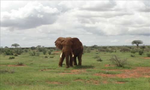 Zdjecie KENIA / - / tsavo east national park / slonik