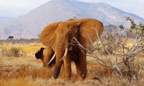 Zdjęcie KENIA / Park Tsavo / Sawanna / Za uszami