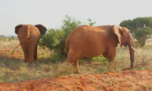 Zdjecie KENIA / Afryka / kenia /  uśmiechnięty  słoń