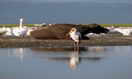 Zdjecie KENIA / - / Nakuru / ptaki w lustrze
